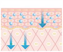 肌細胞へ栄養導入